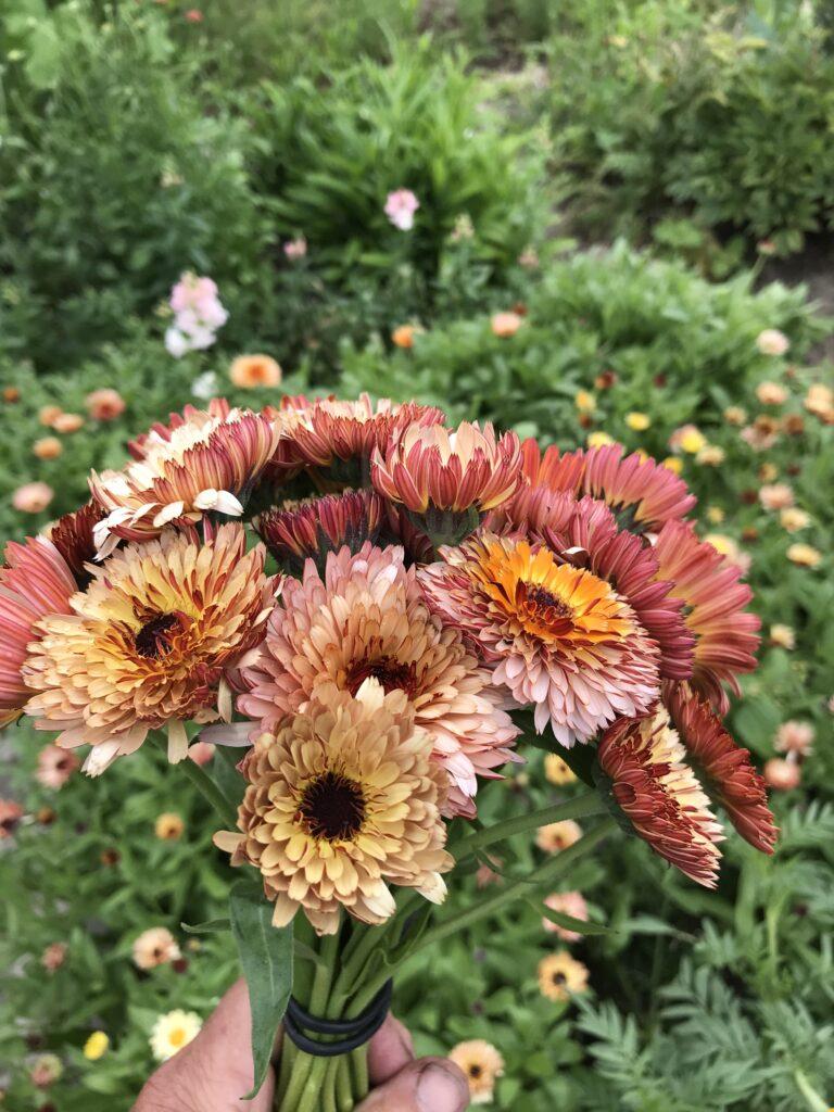 Calendula plukbloemen