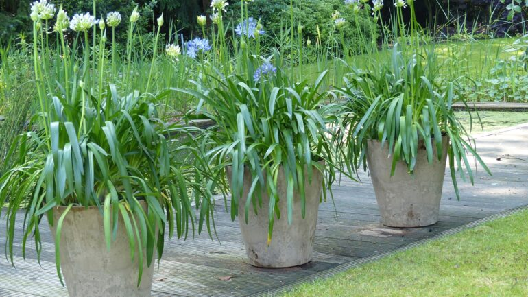 Agapanthus in potten